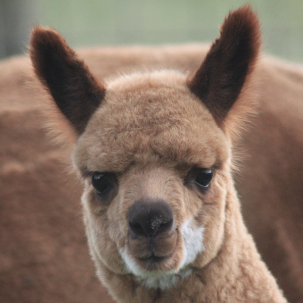 Alpacamundo Harvey