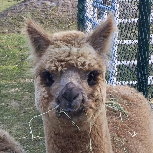 Alpacamundo Kenny