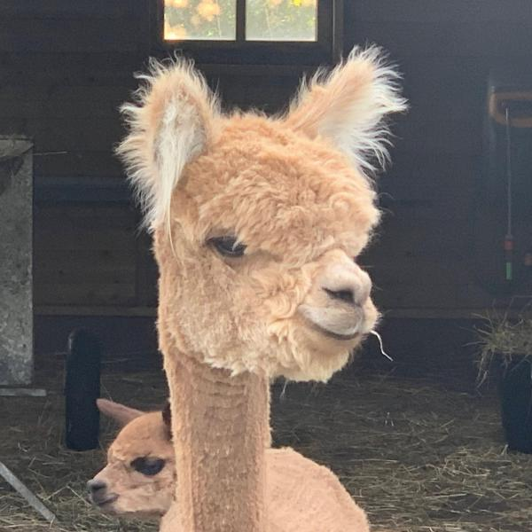 Alpacamundo Kitty